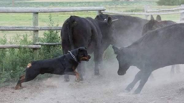 Fci Breed History Rottweiler Klub Of North America Inc